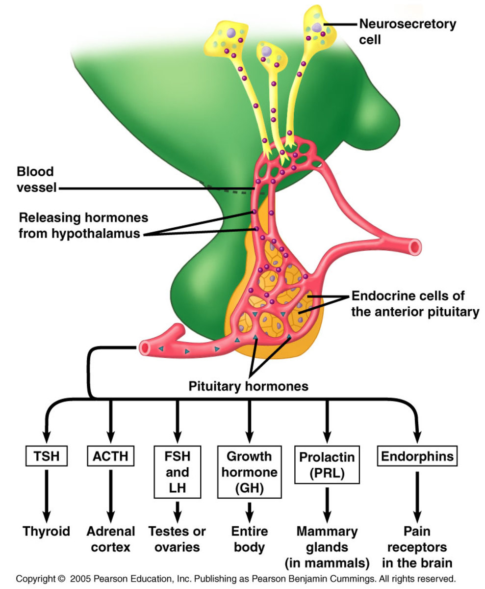 Hormones Of The Anterior Pituitary And Its Disorders  A Case Study Of