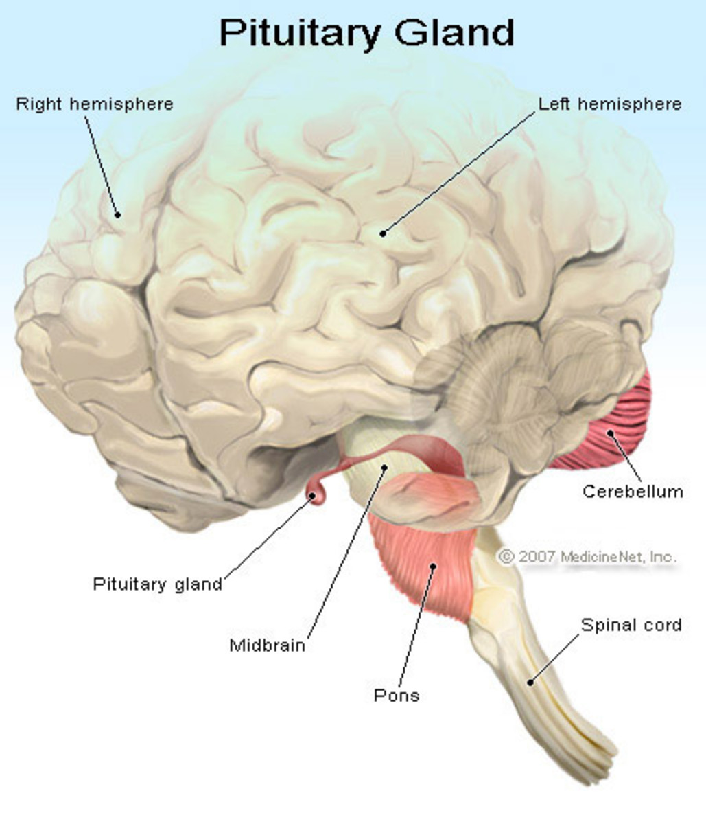 Hormones of the anterior pituitary are polypeptides with one or more chains