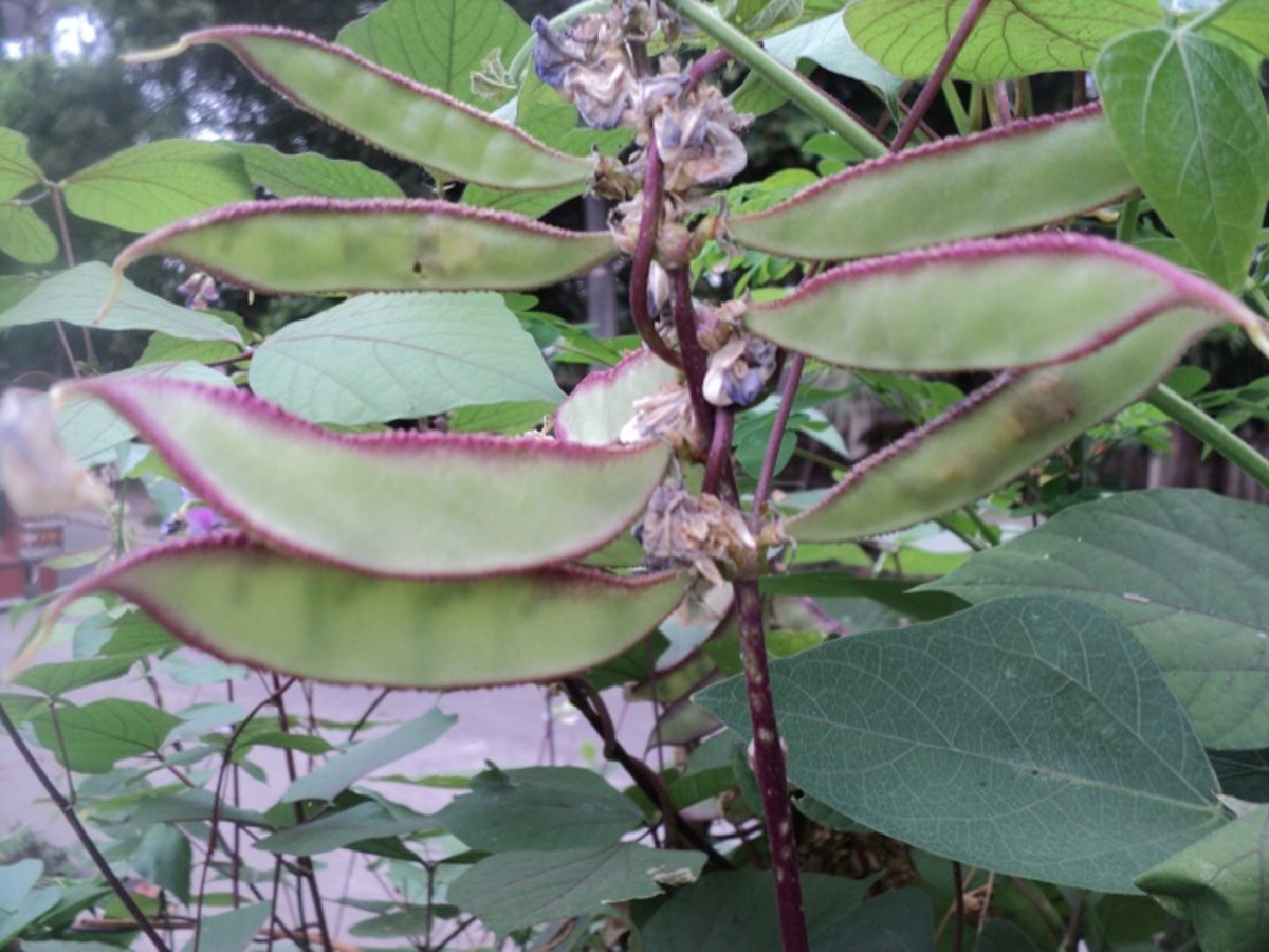 The Miracle of Hyacinth Beans (Bataw)