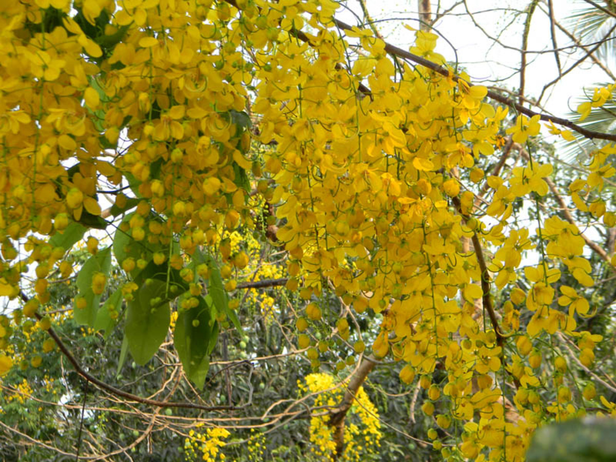 Photo of golden shower tree flowers in full blossom : Wikimedia Commons Image