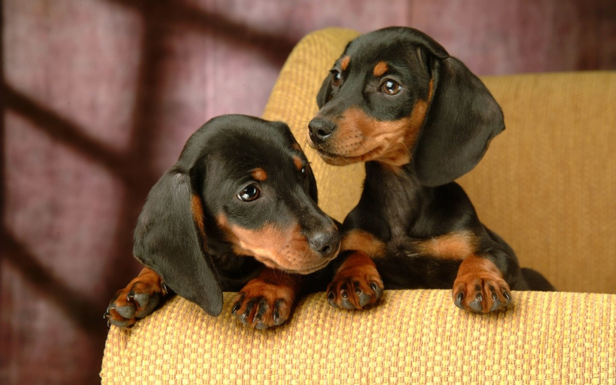 Puppy Dachshunds