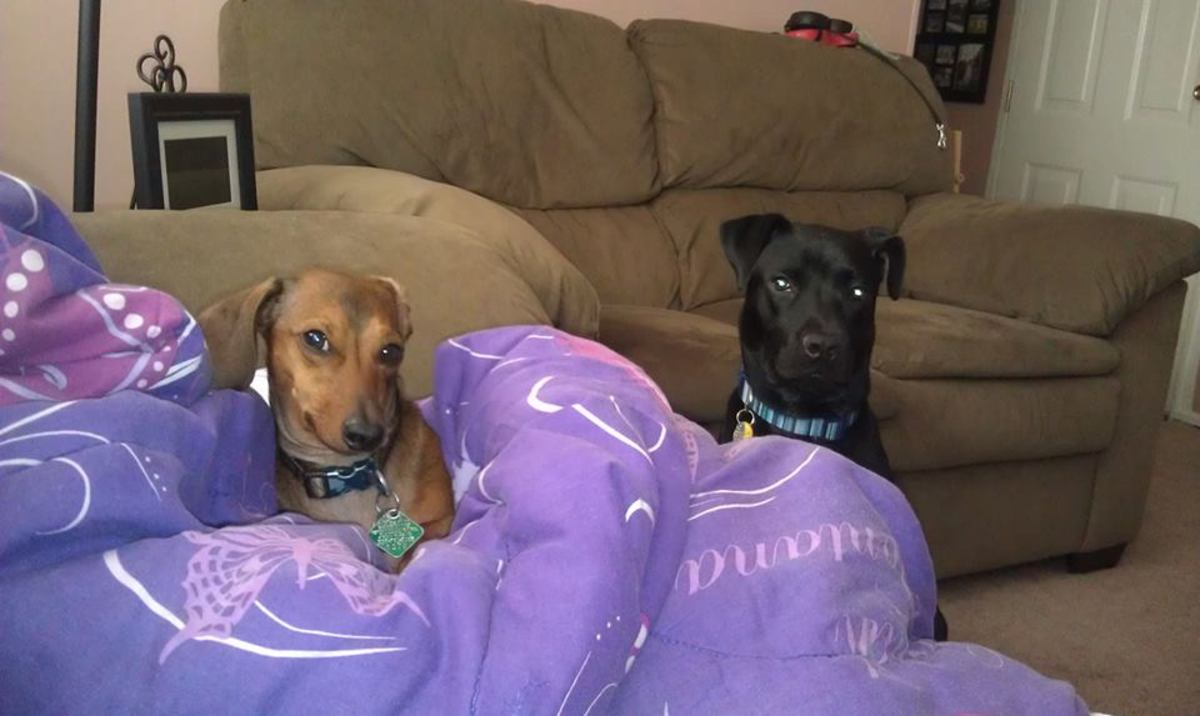 My two favorite dogs in the world. My sons, Harley the ferocious miniature Dachshund and Rocko the dumb but lovable galoot Boxer/Lab mix.