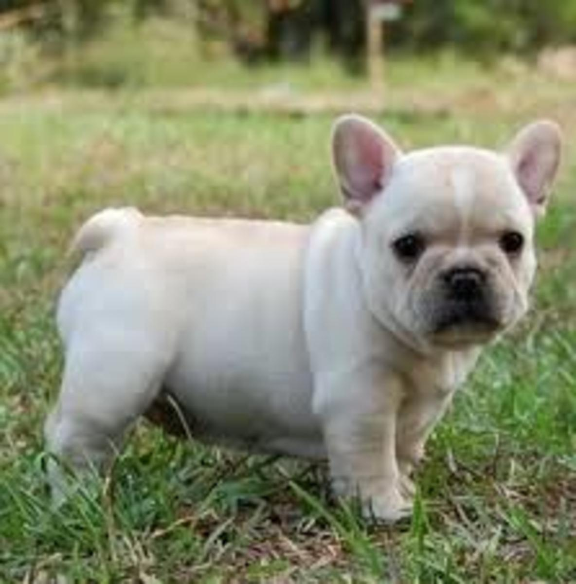 Puppy Frenchie