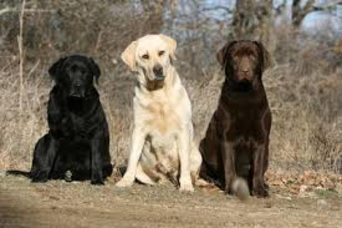 Adult Labrador Retrievers