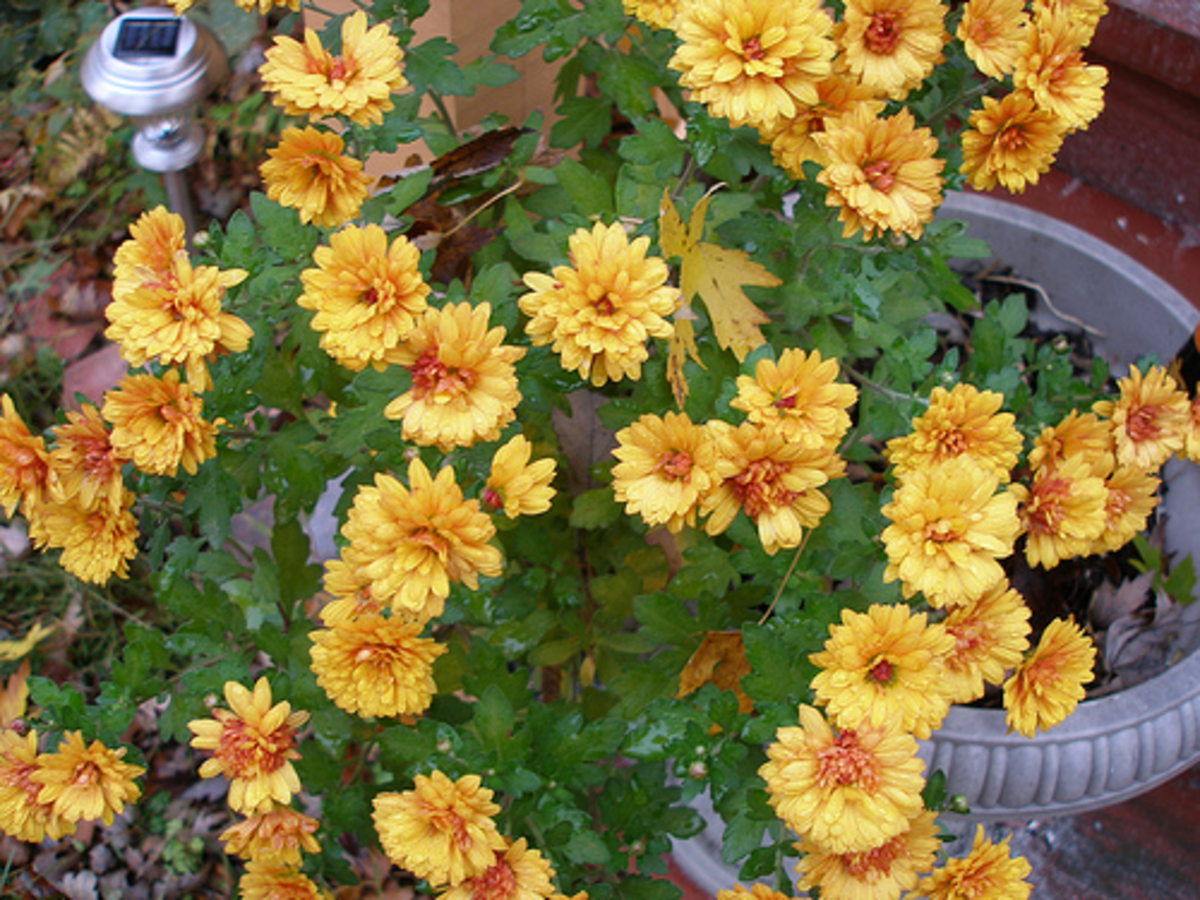 Mums in Rust color