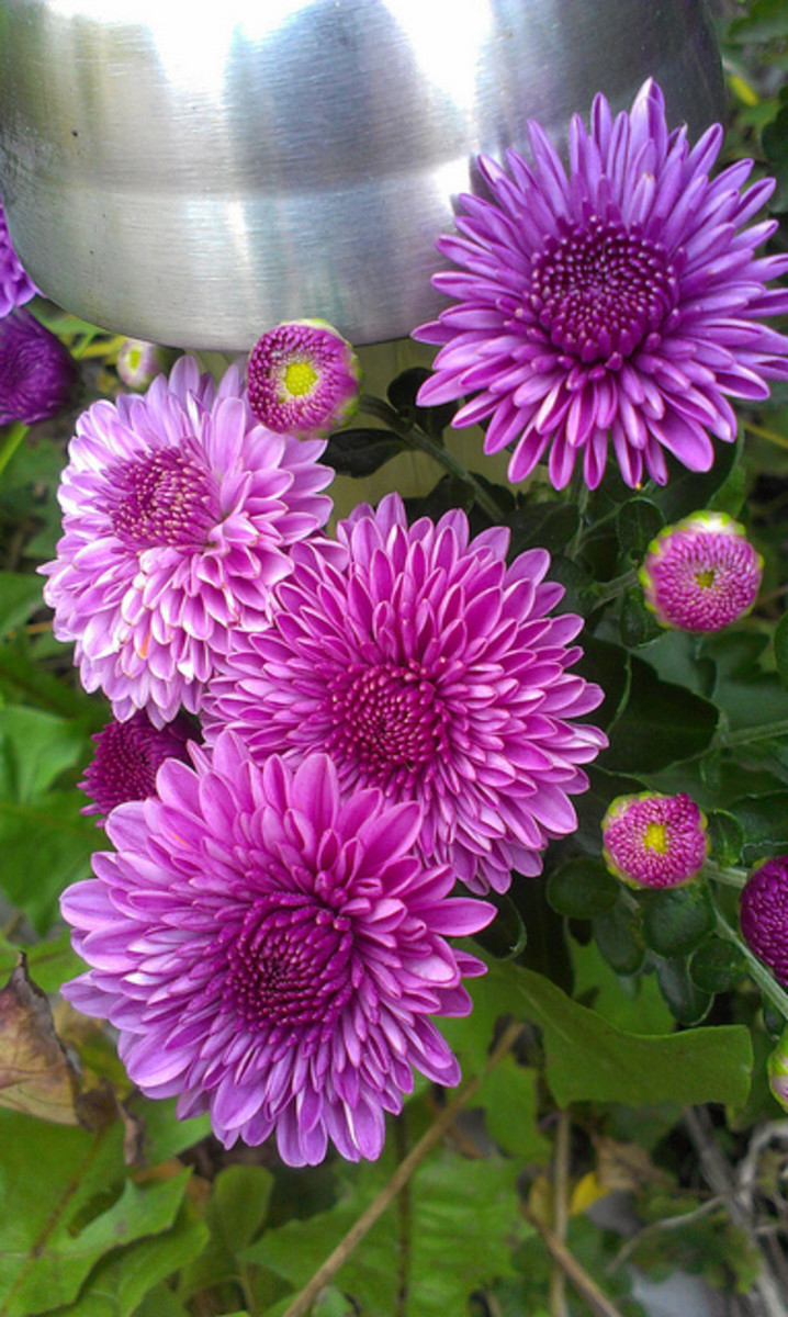 Plant Spotlight: Chrysanthemums