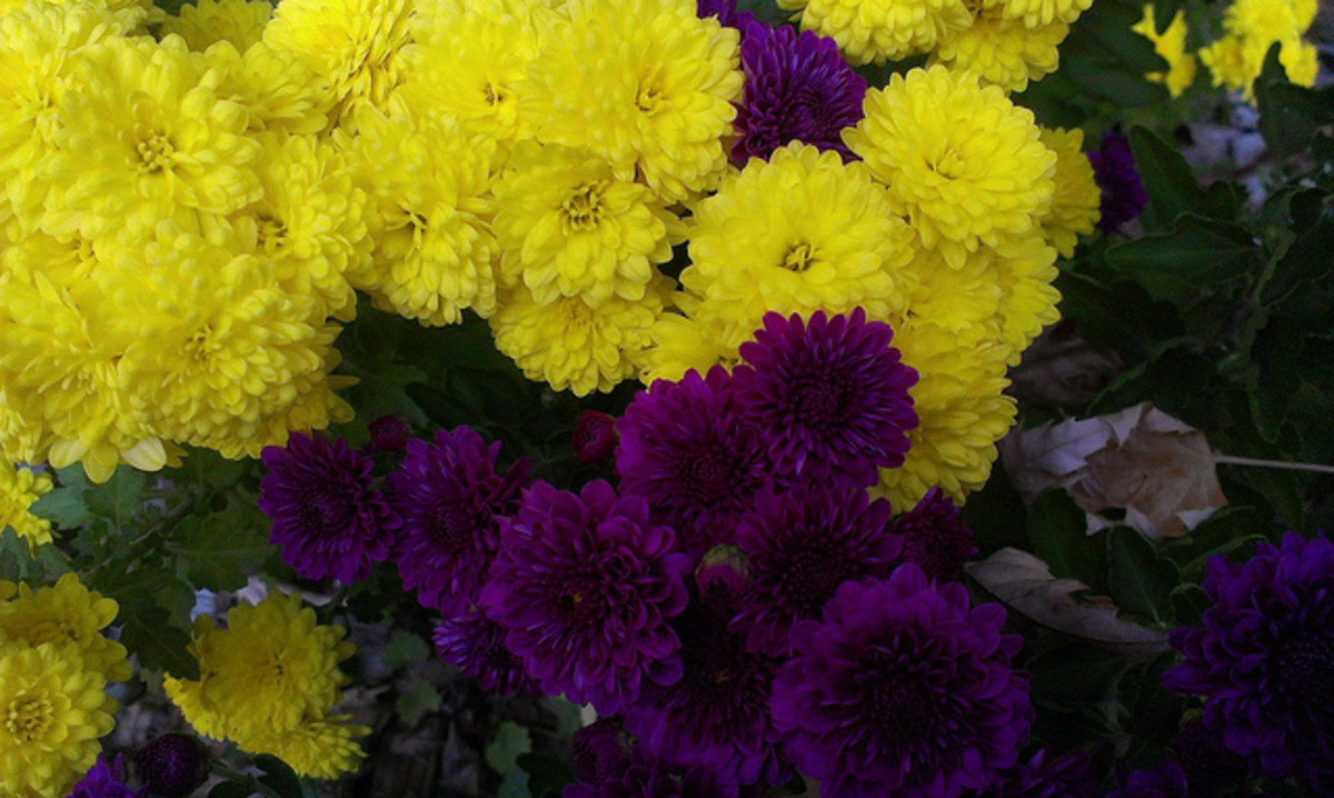 Button Mums, Purple and Yellow
