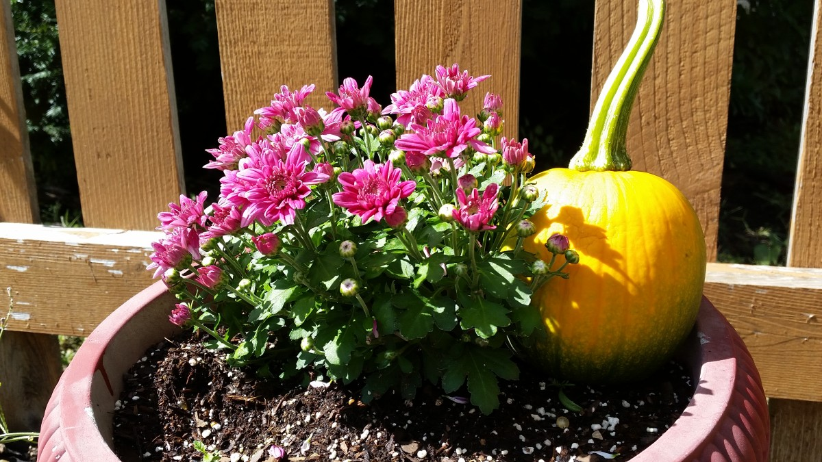 Mums and mini-pumpkins make a nice fall display