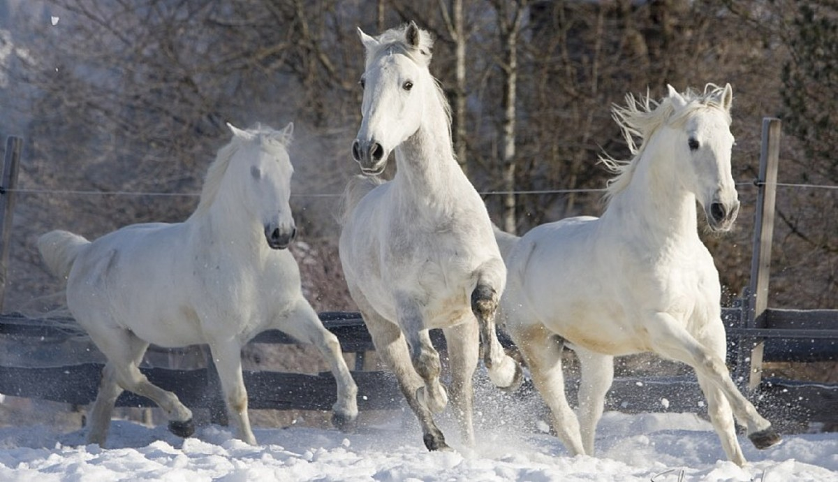 The Dancing Horses of Vienna and Facts About Lipizzaners