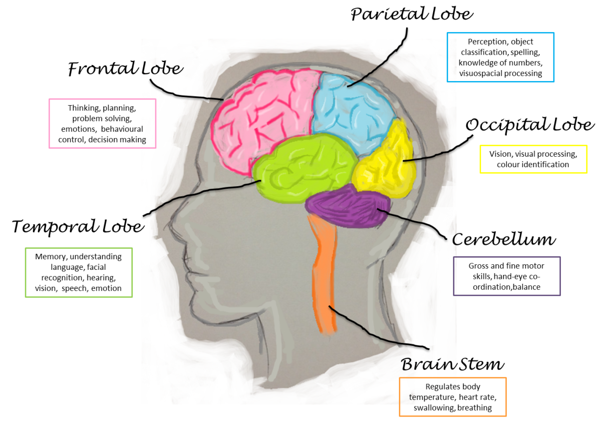 10 Biggest Myths About the Human Brain | HubPages