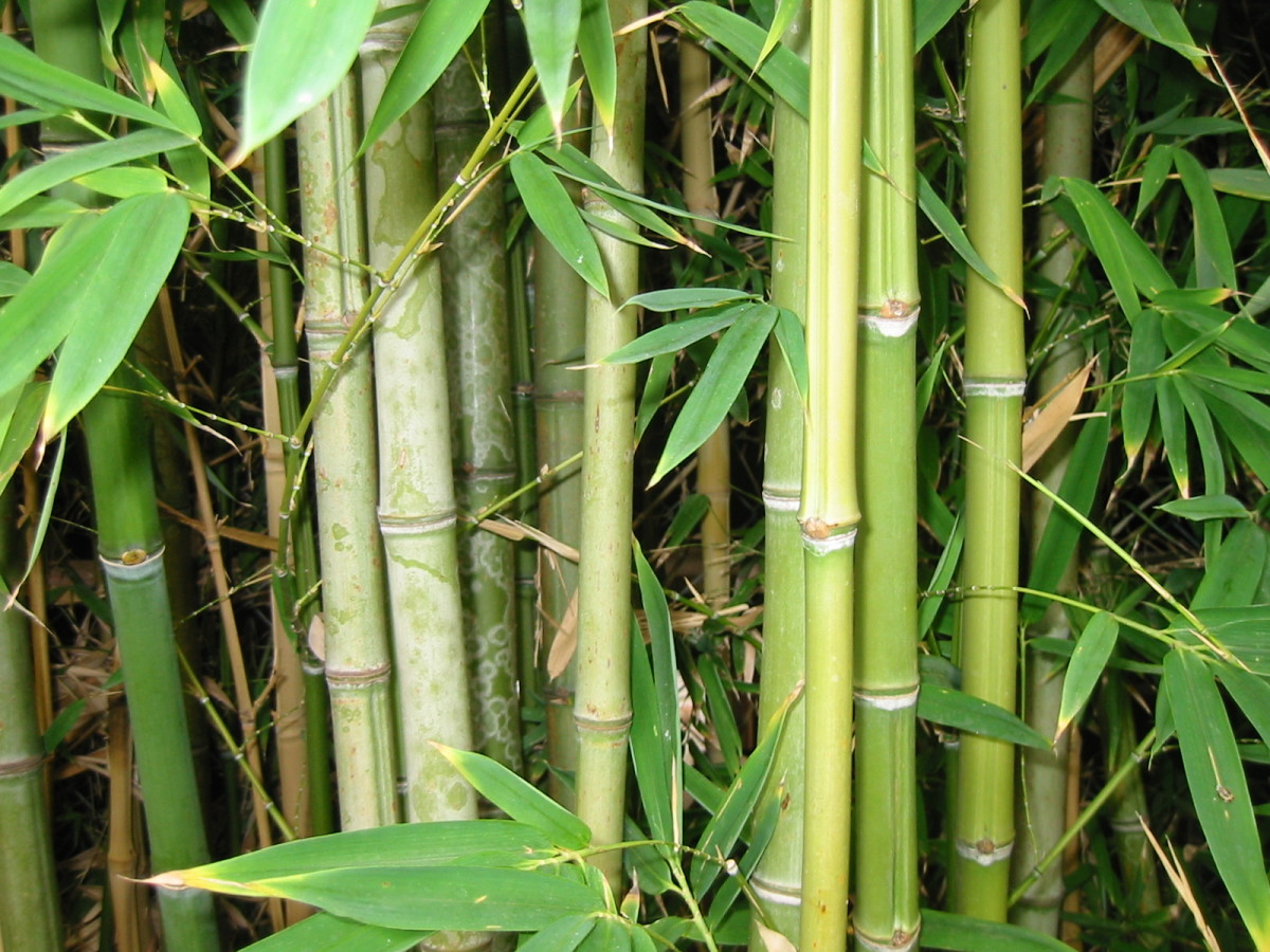 golden cane palm care instructions