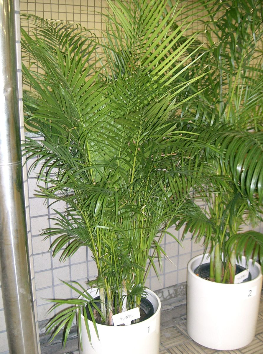 10 beautiful houseplants safe for cats and dogs hubpages for Areca palm safe for cats