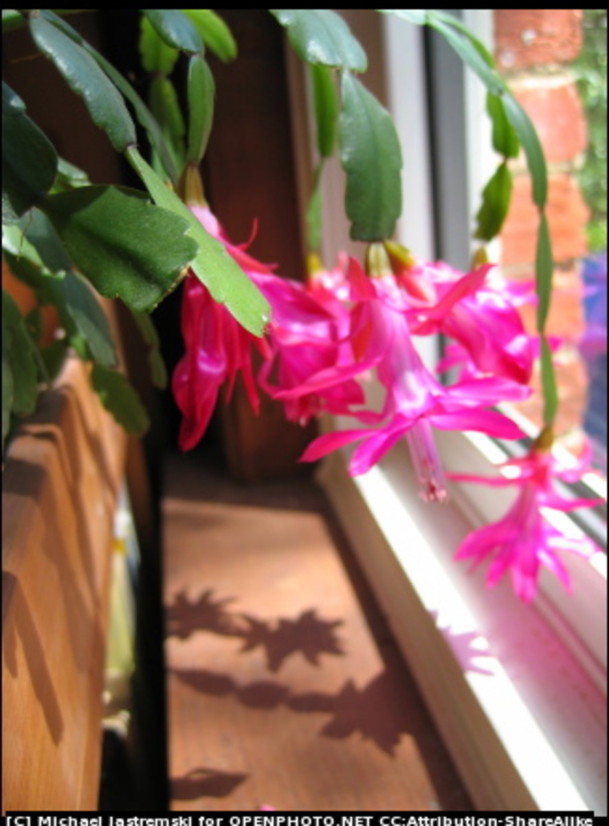 christmas cactus in bloom - Are Christmas Cactus Poisonous To Dogs