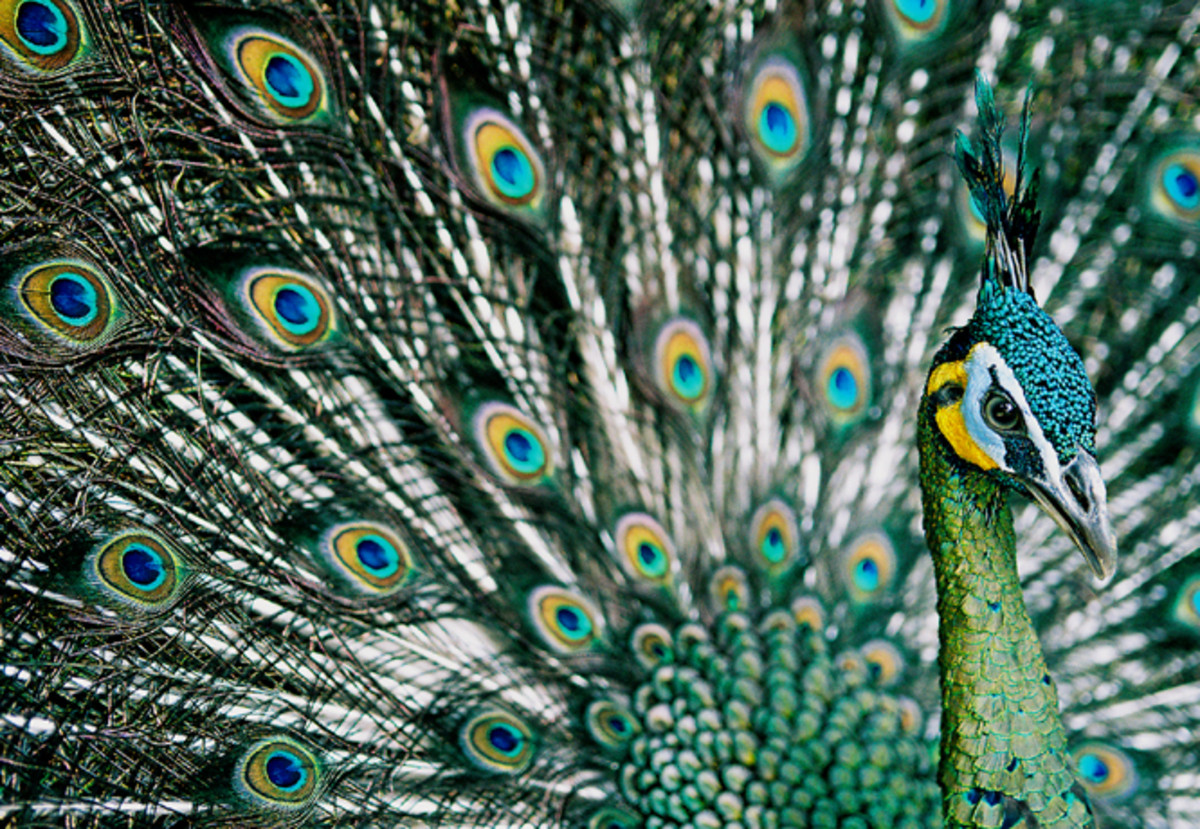 Picture of green peacock: Wikimedia Commons Image