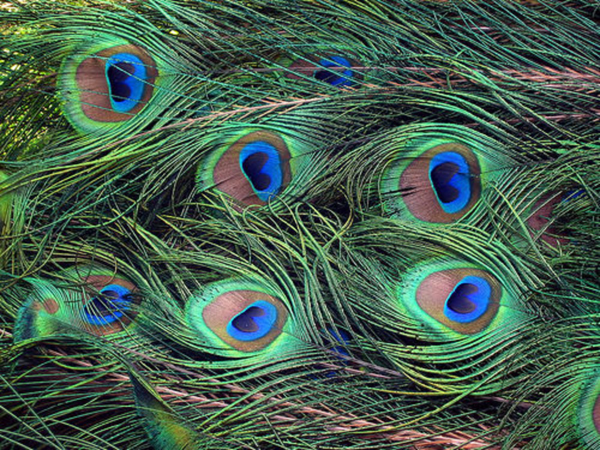 Close Up Image Of Peacock Feathers