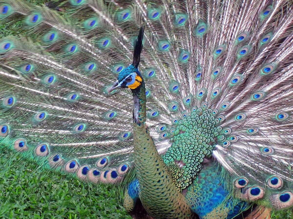 the-endangered-green-peacocks