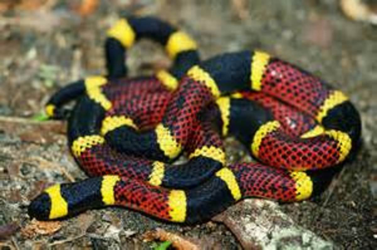 Most Venomous Snakes in the United States
