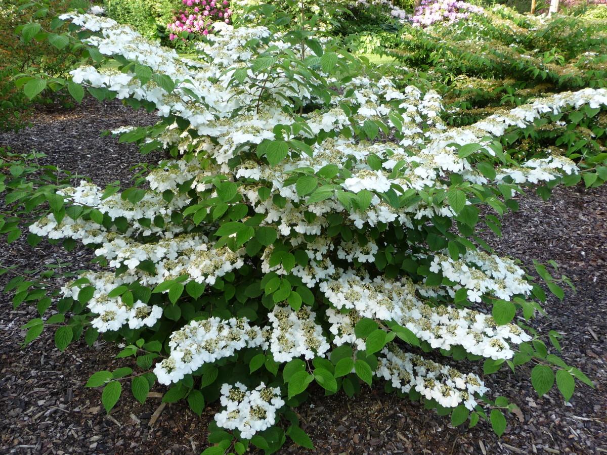 Viburnum Plicatum flowers in plant