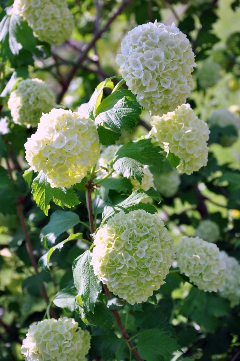 European Snowball Viburnum flowers or Viburnum Opulus flowers