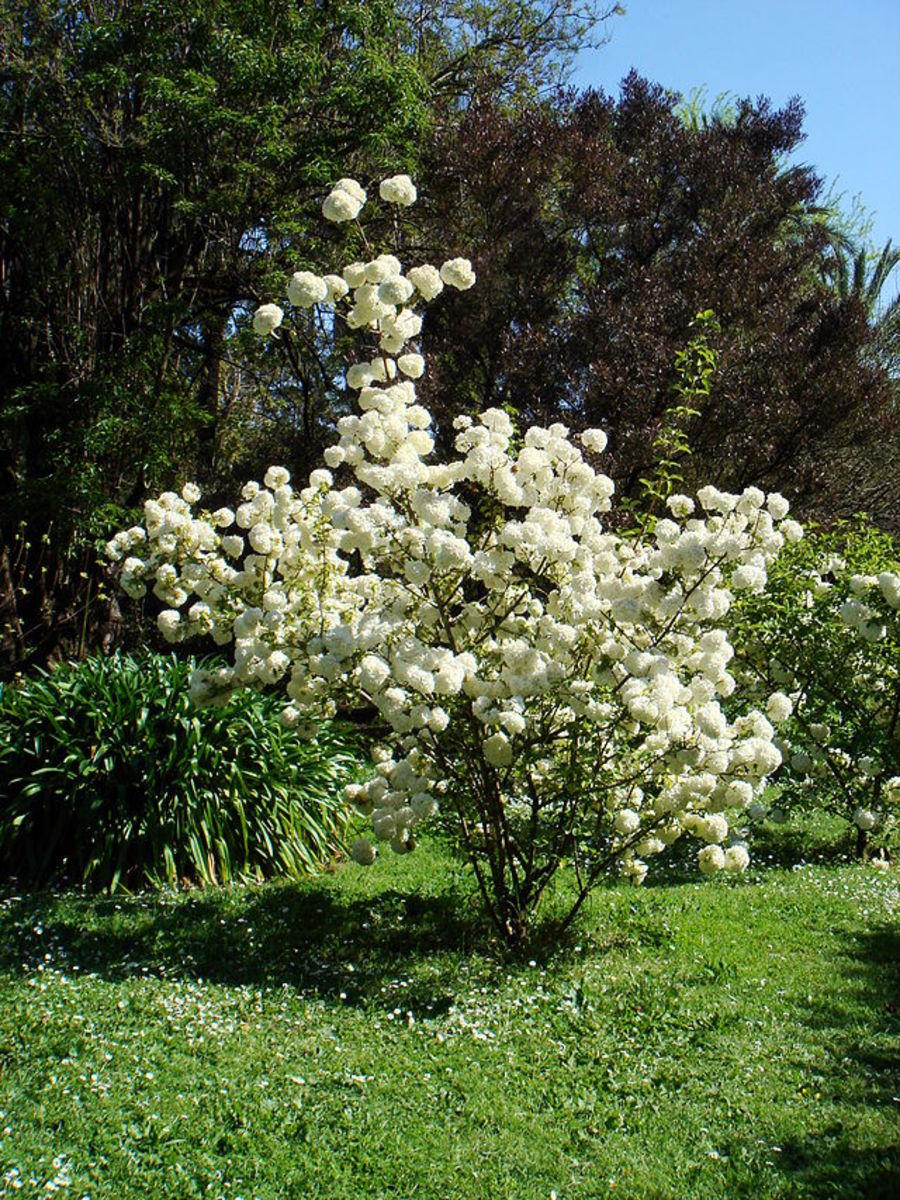 Snowball viburnum bush in full bloom