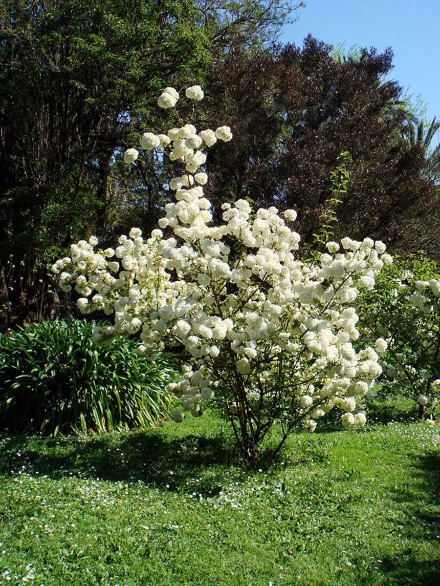 Varieties Of Snowball Viburnum Shrubs