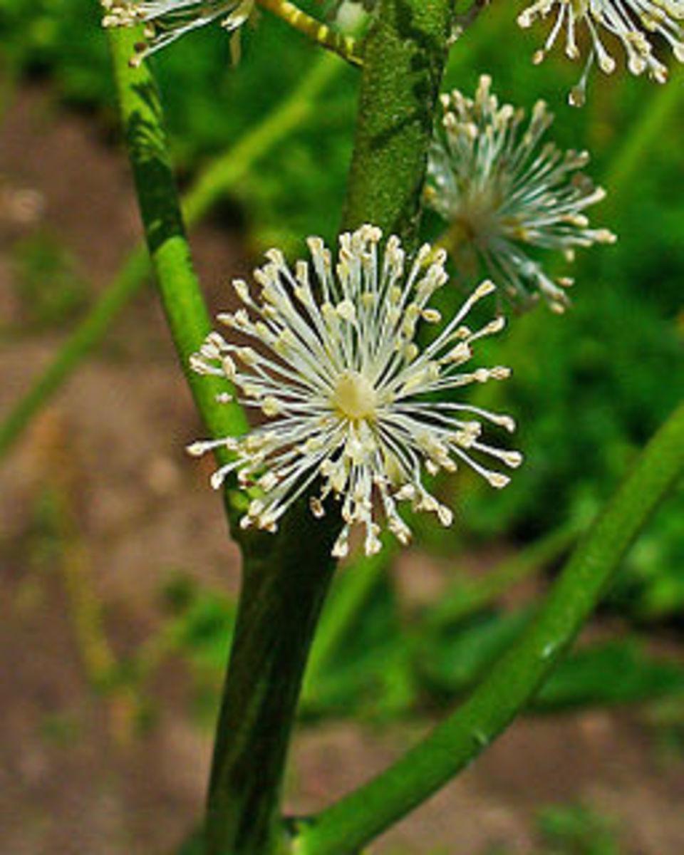 Black Cohosh blossom