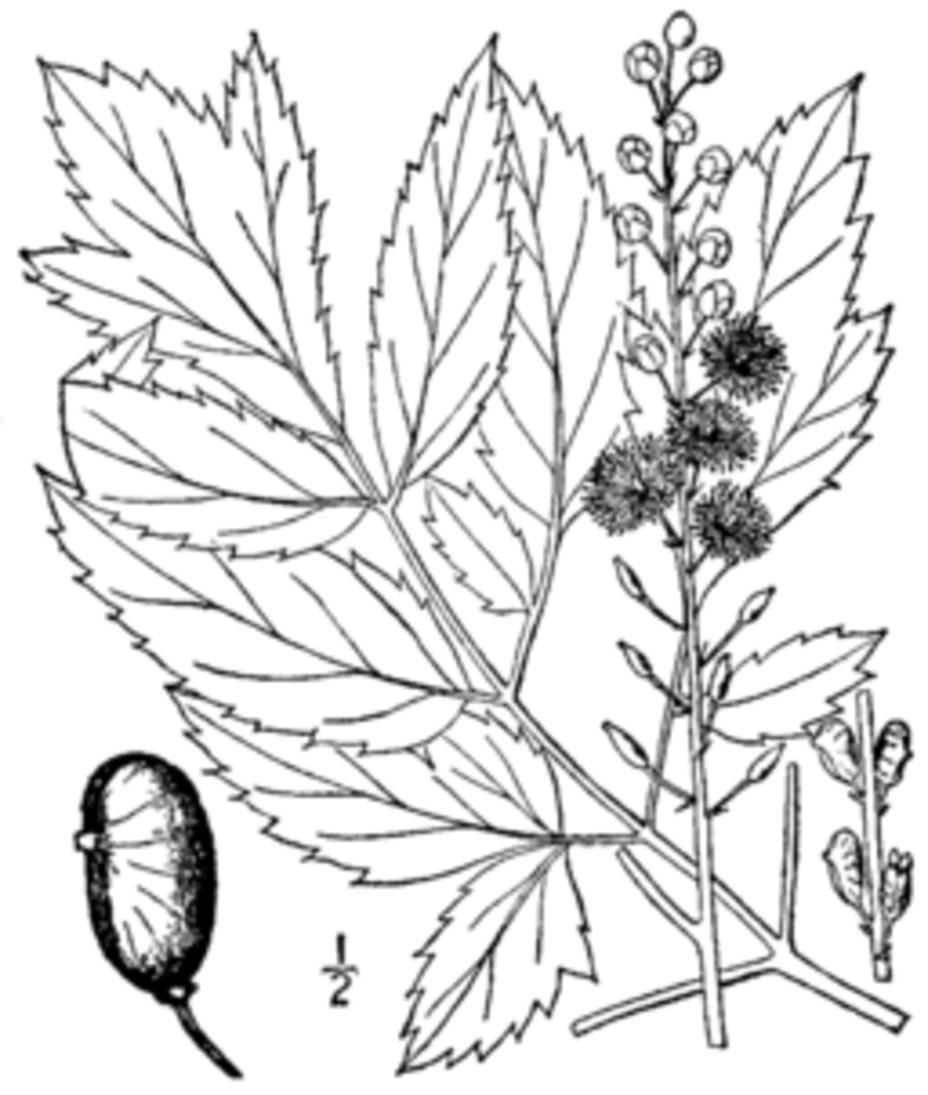 The parts of the black cohosh plant