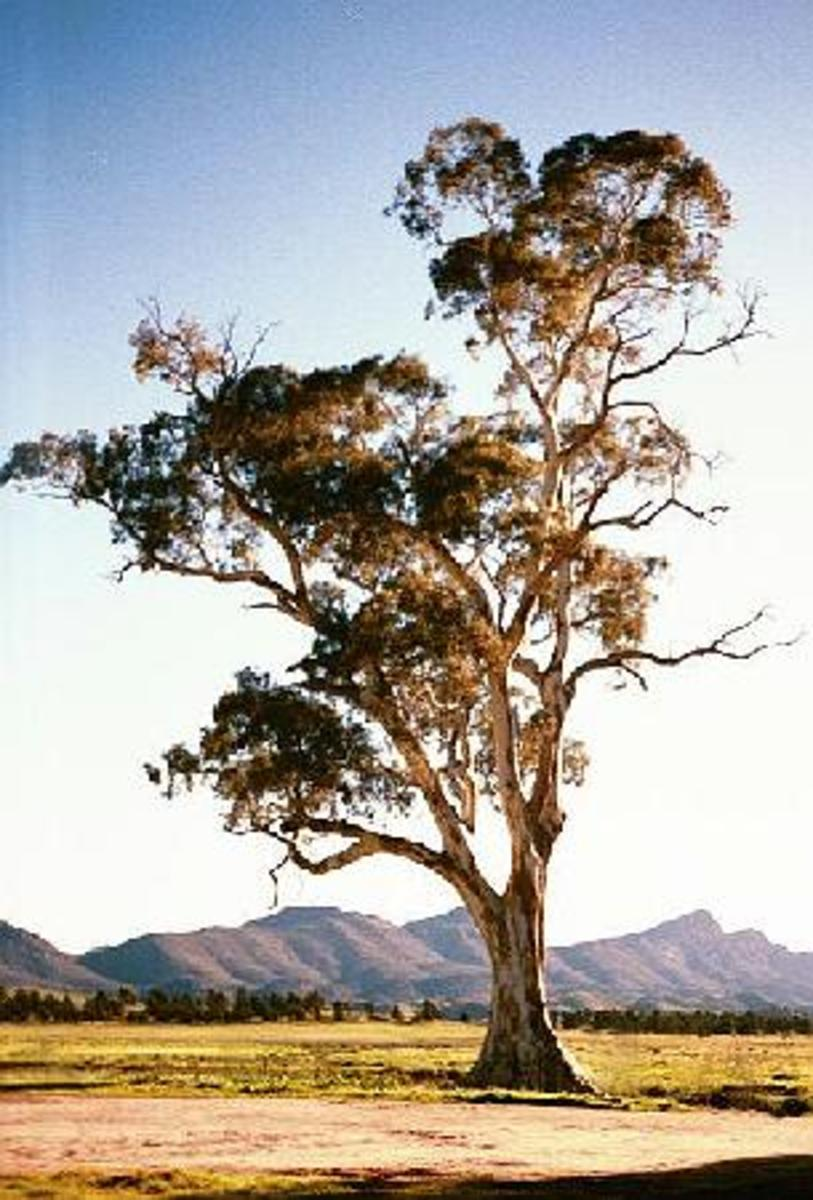 Eucalyptus camaldulensis (the river red gum)