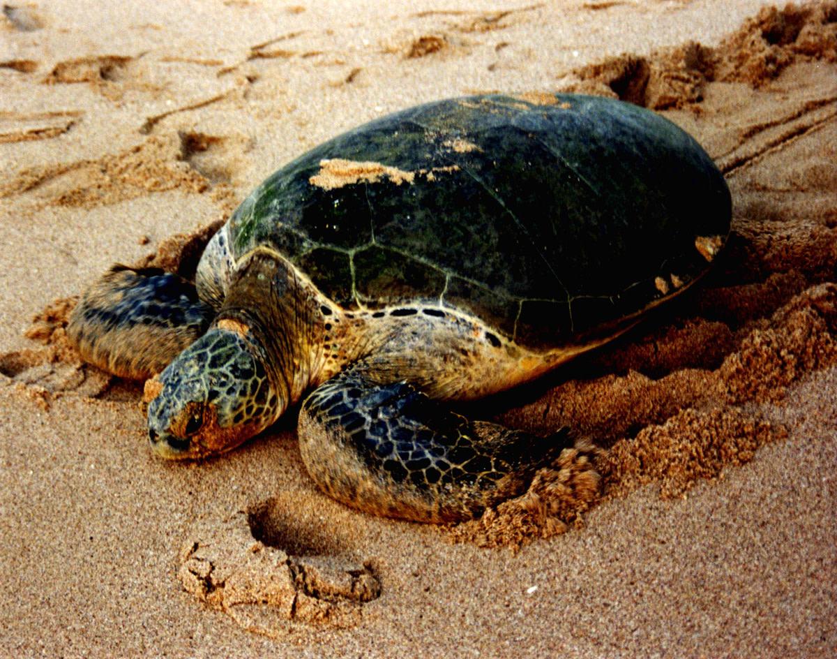 A green sea turtle
