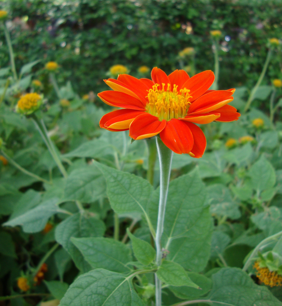 Mexican Sunflowers - Orange Red Ornamental Flowers For Gardens