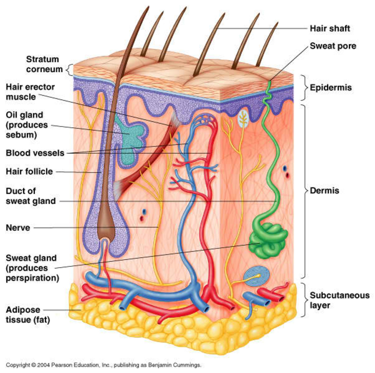 The human skin is considered as the largest organ of the integumentary system  and one of the most important parts of the body.