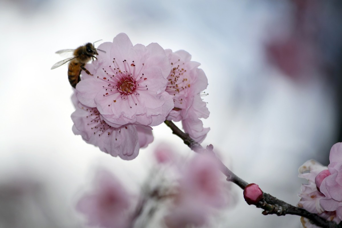 A bee on a cherry blossom.