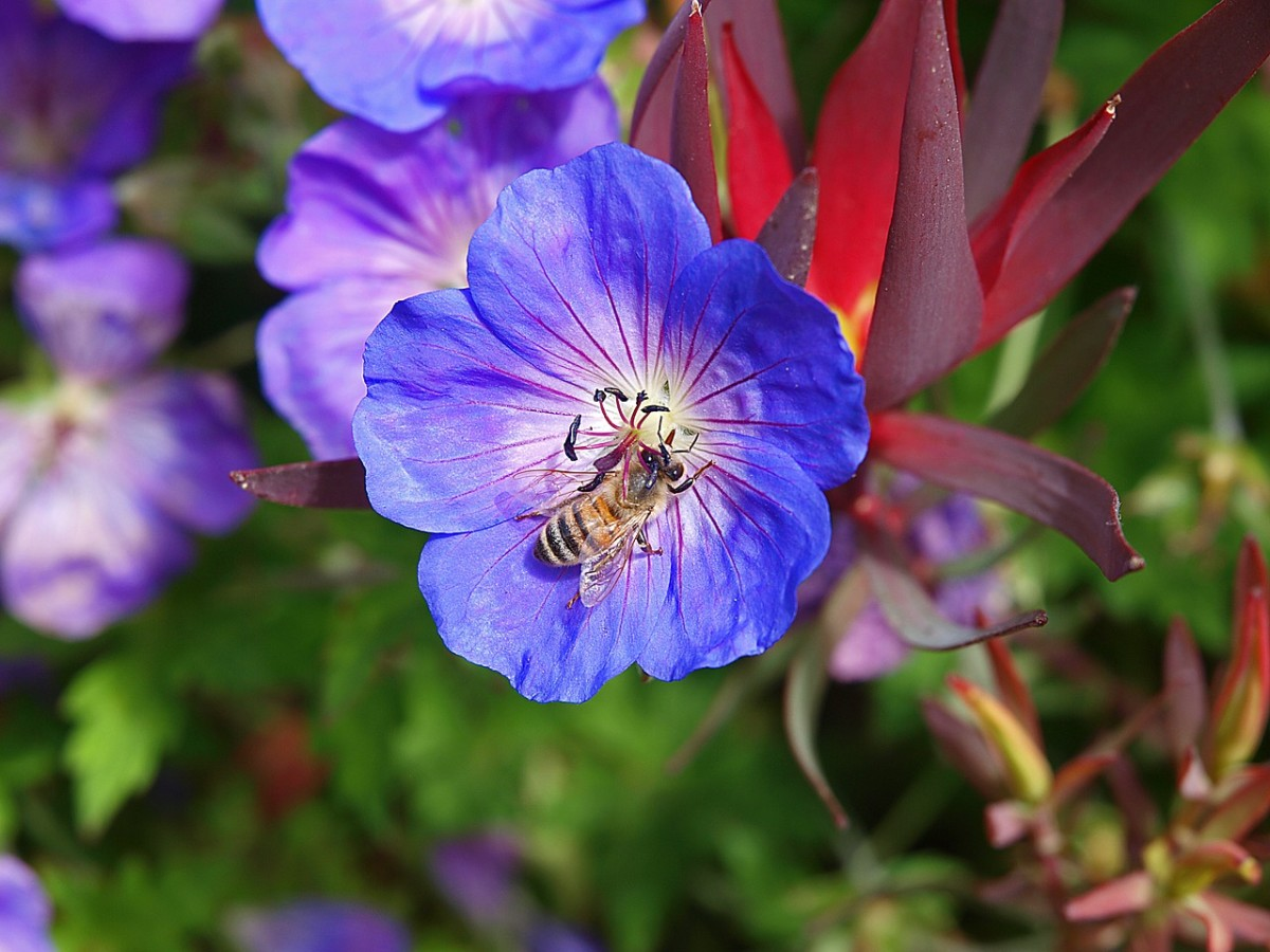 A honey bee alights on a blue flower.