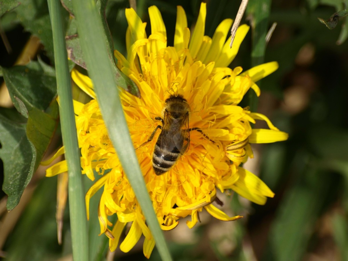 A bee alights on a yellow flower.