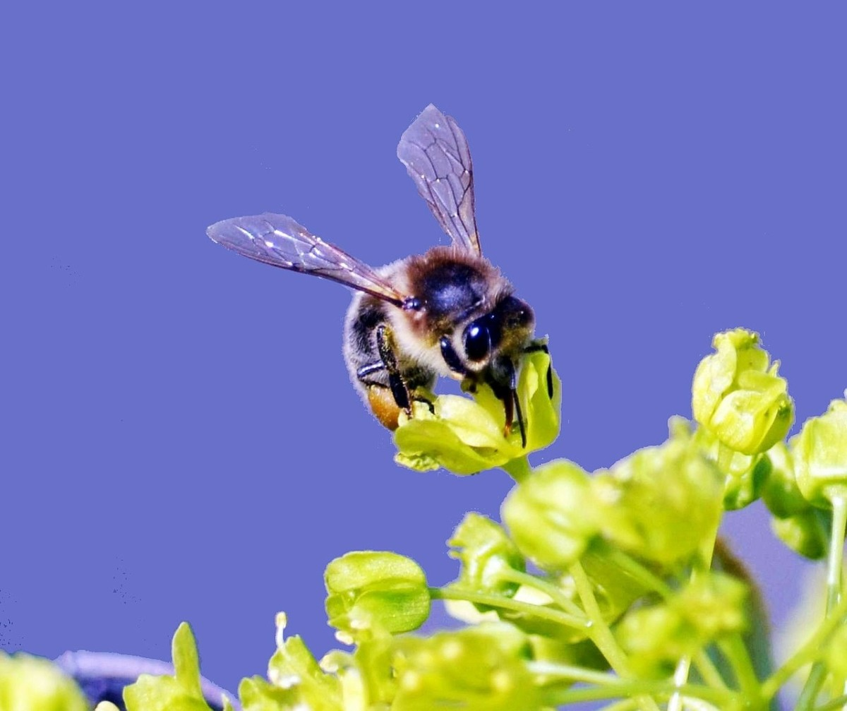 A honey bee about to suck nectar from a flower.