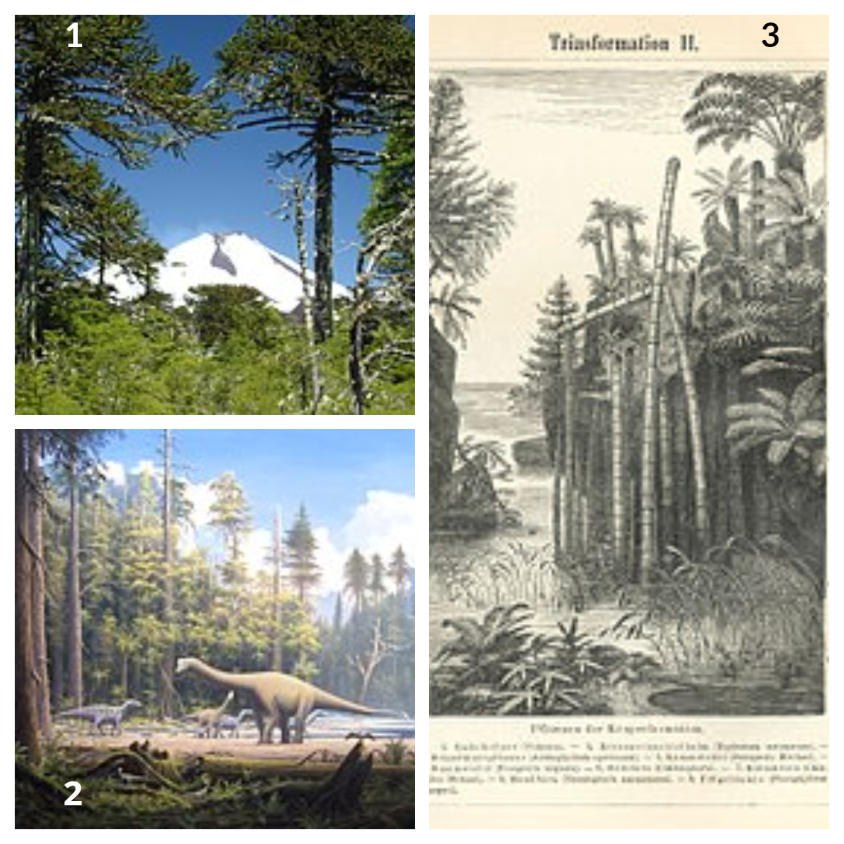 1.  Jurassic Period,  2.  Cretaceous Period - Typical Conifers 3.  Triassic Period - Typical Flora