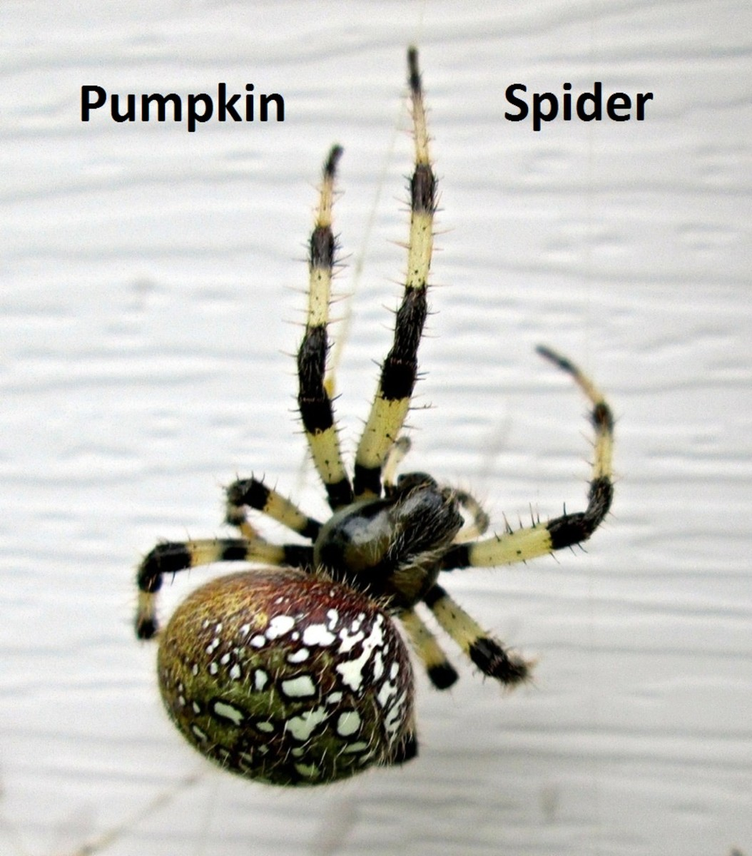 Real Spooky Orb Weaver Pumpkin Spiders