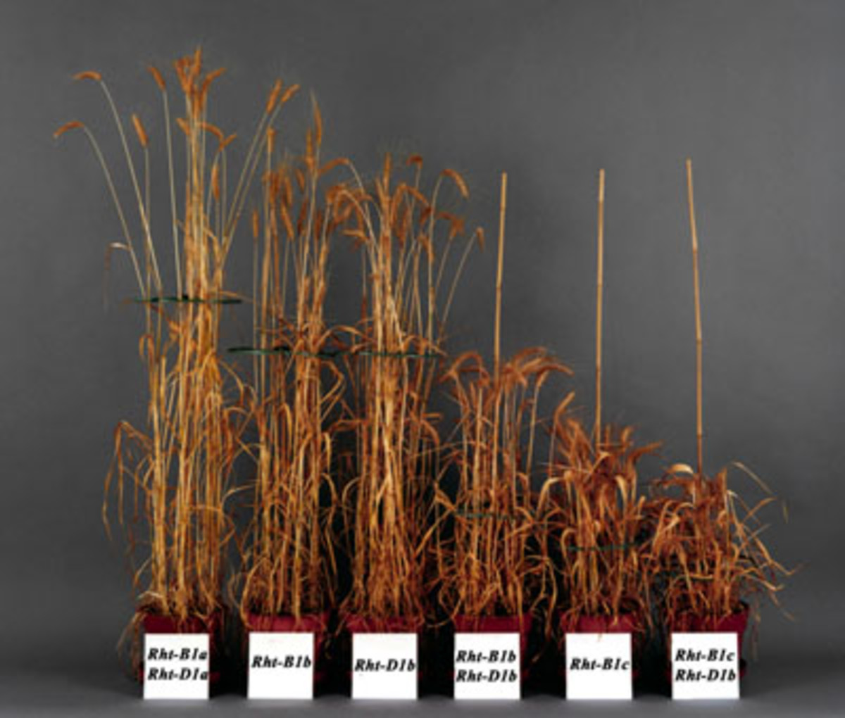 (Bearded, A. (2010), 'The Effects of Different Rht Alleles on Plant Height in Wheat', Plant Physiology (Fifth Edition), Chapter 20.3