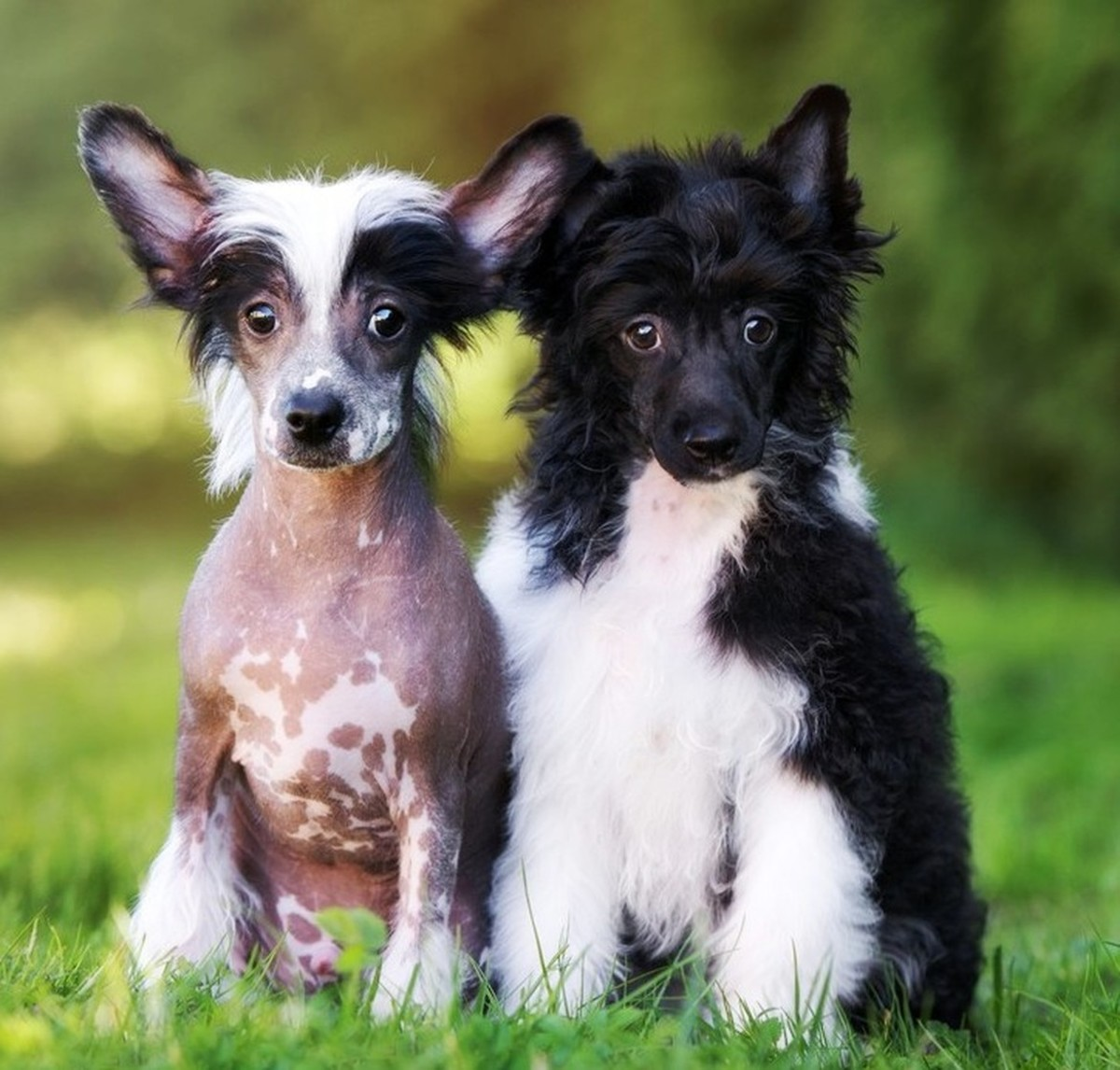 A hairless and powderpuff Chinese Crested require very different grooming techniques.