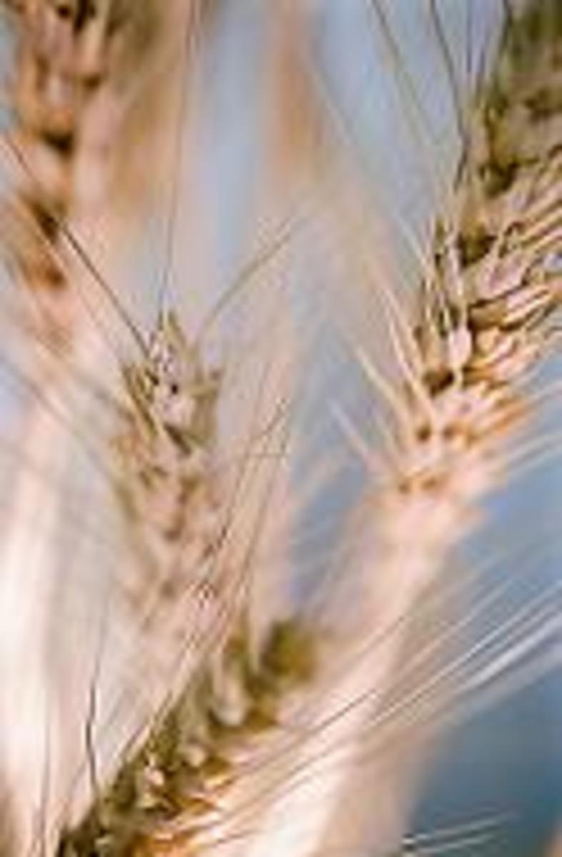 example of wheat plant