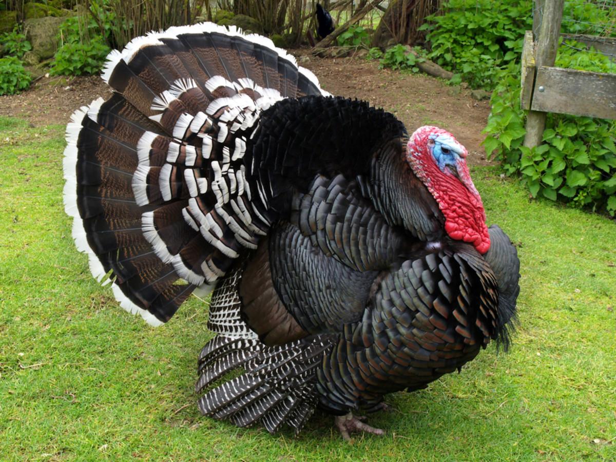 choosing-a-turkey