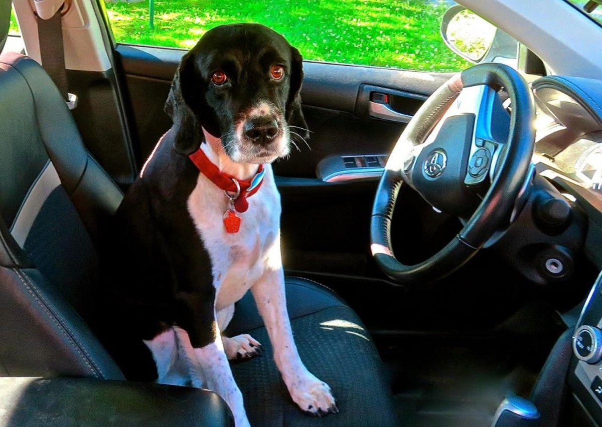 Dog Behind The Wheel Of A Car