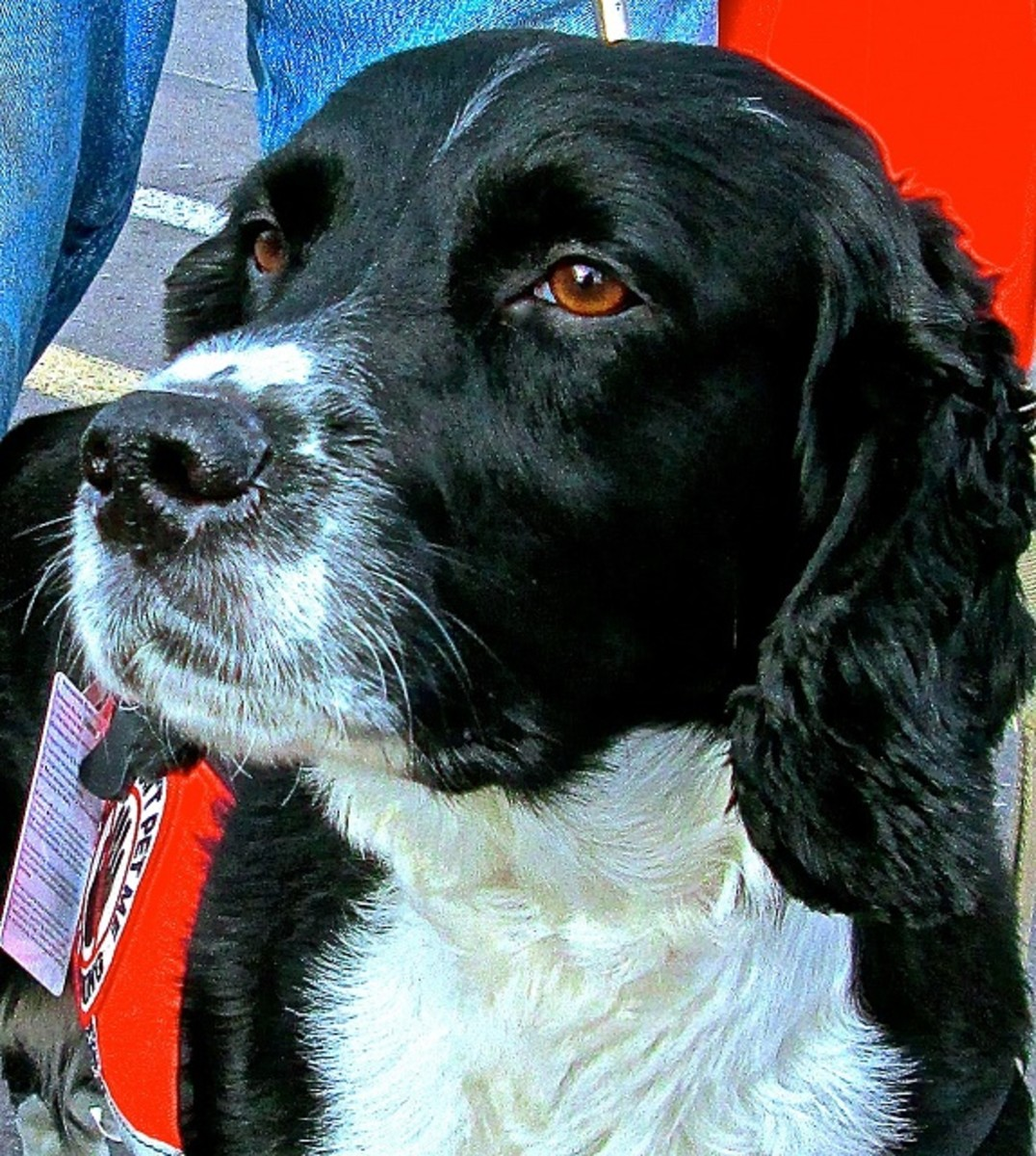 Springer Spaniel Dog Breed