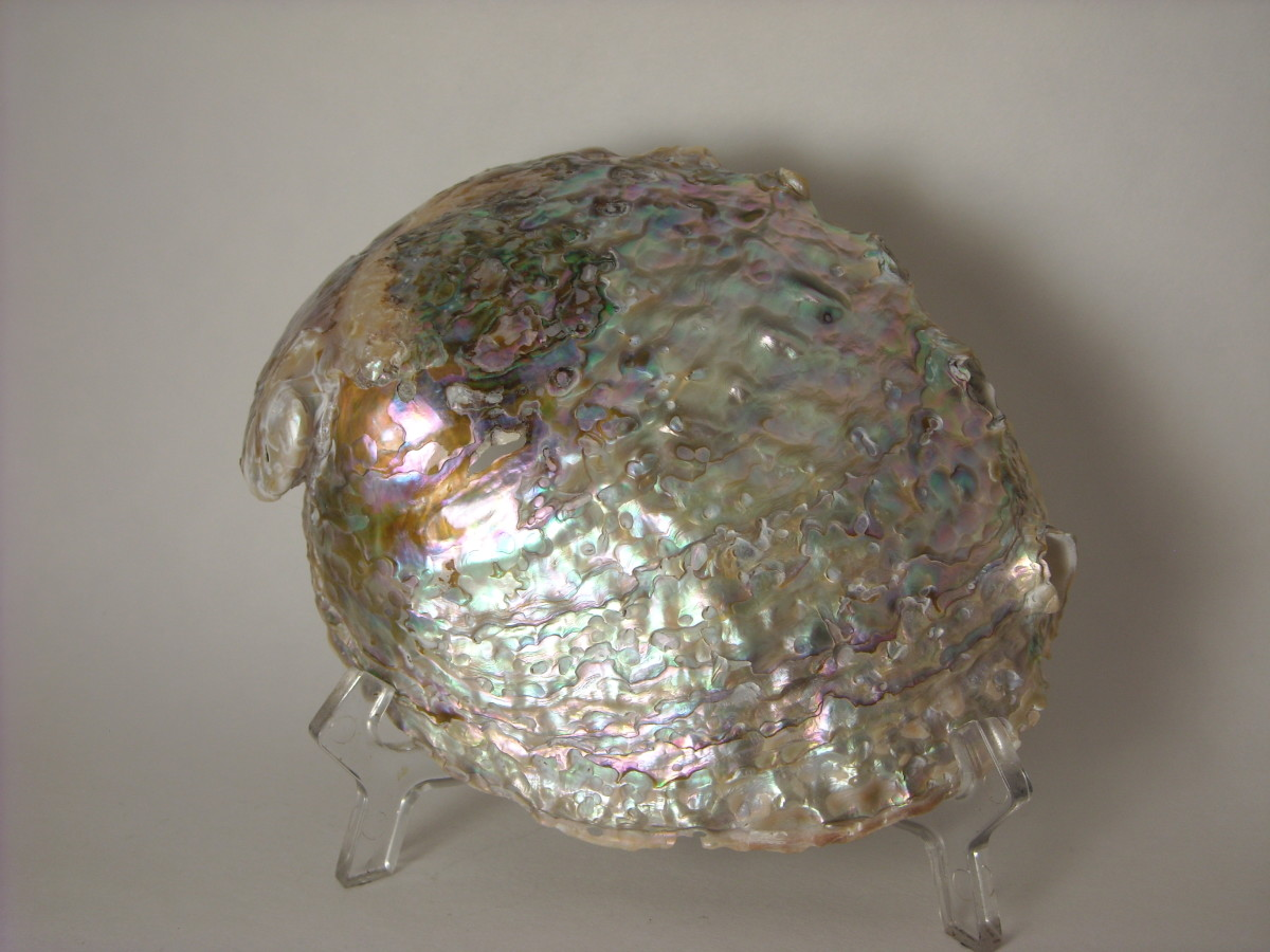 Abalone Shell ~ Cleaning