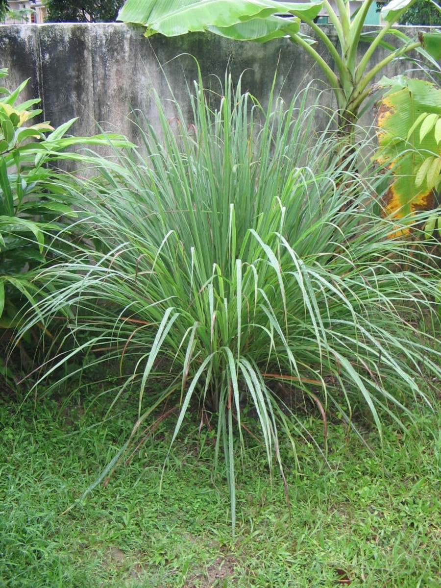 lemongrass will discourage dogs from the area