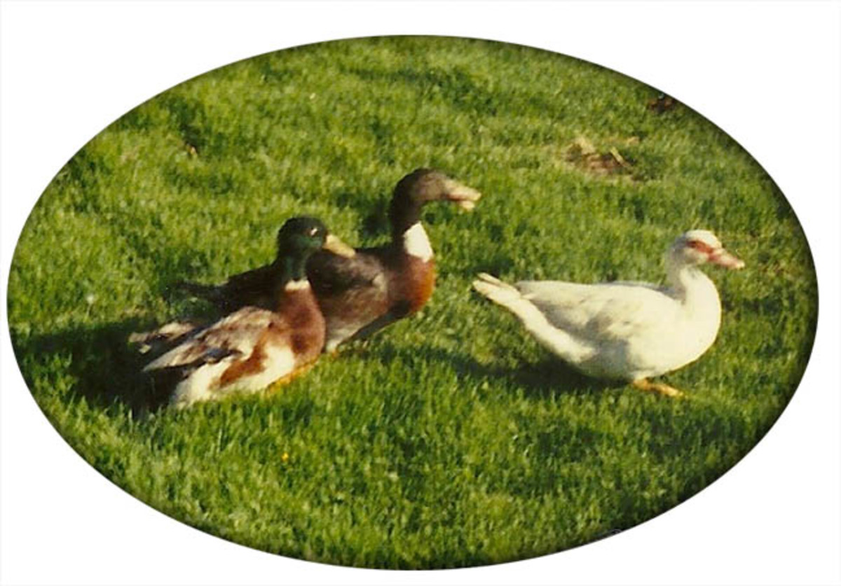 Our ducks.