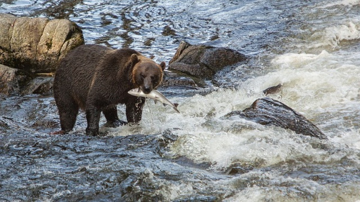 Bears know where the fish are running. You should too for a successful fishing trip with a string of results.