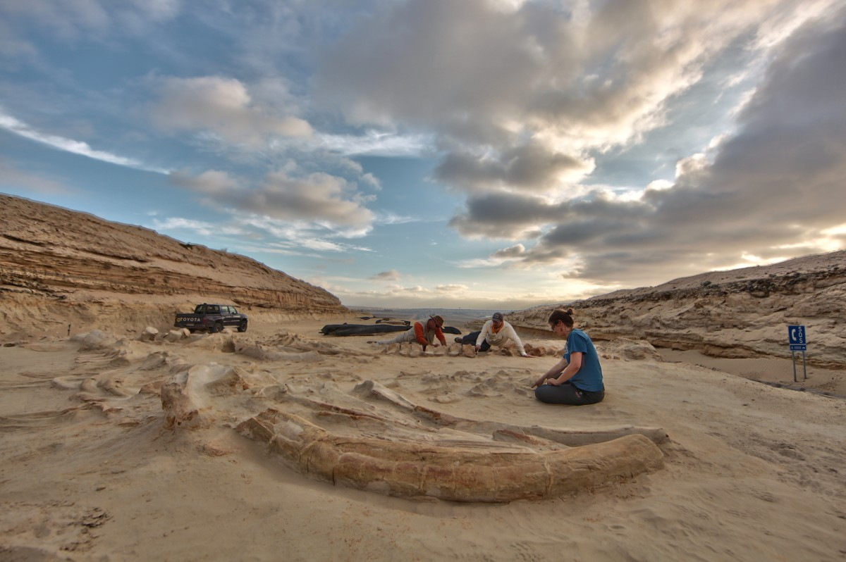 """Paleontologists labor over a trio of whales — two adults and one juvenile — informally dubbed """"La Familia""""."""
