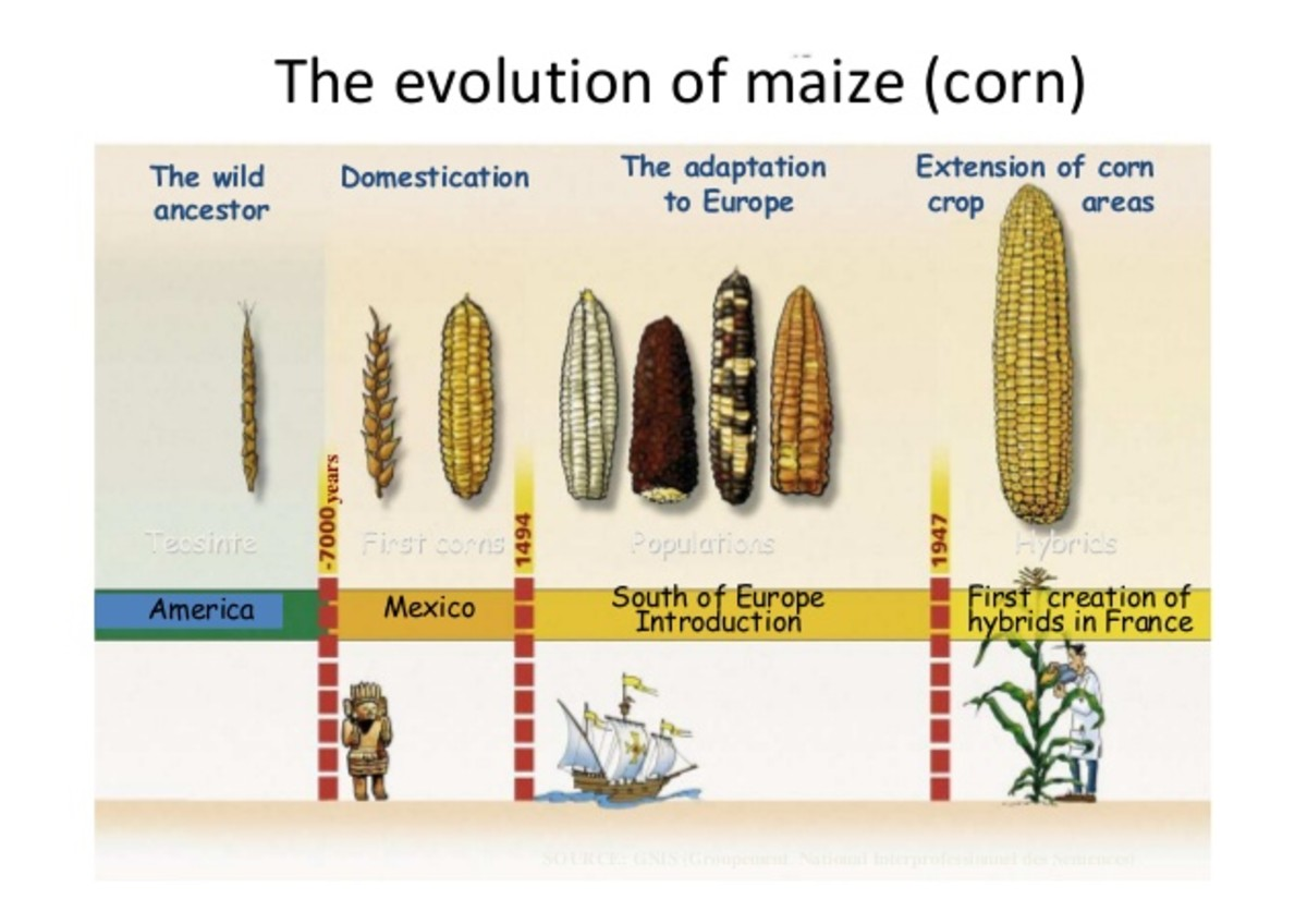 Wild, Domesticated, and Modern Corn