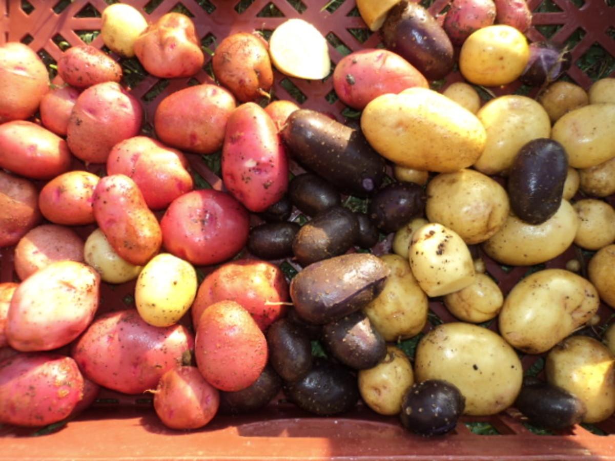 Potato gene pool